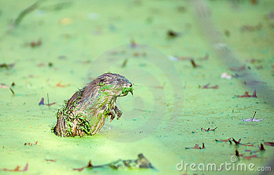 Muskrat in Duckweed 2