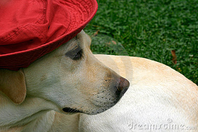Labrador with red hat II
