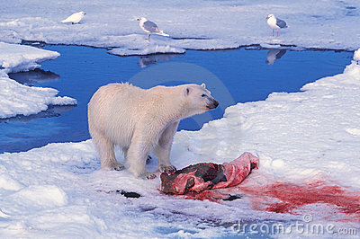 Polar Bear over a seal kill