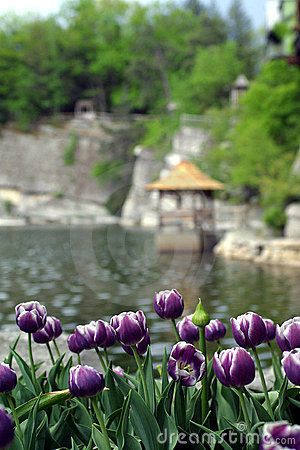 Purple Tulips Lakeside