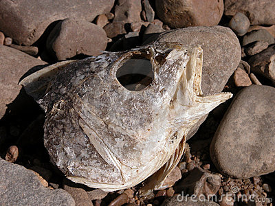 Rotting Fish Head on the River Rocks