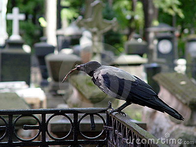 Crow at the cemetery