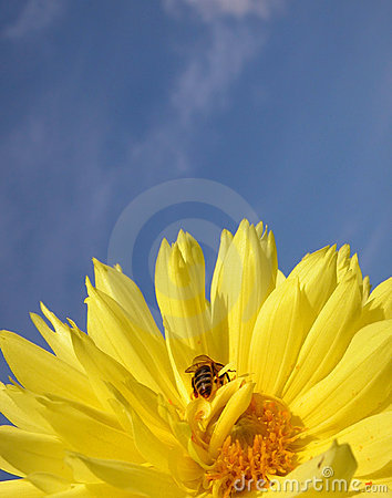 Bee on yellow dahlia