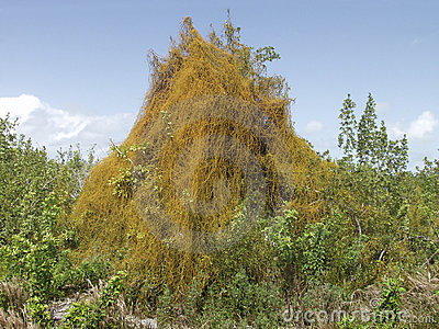 Parasitic Dodder