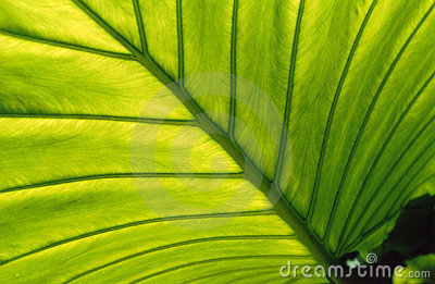 Leaf, backlit