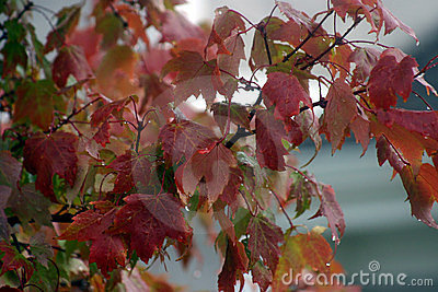 Autumn Leaves In the Rain