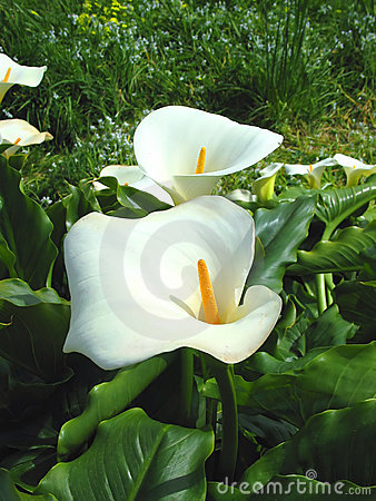 Lilies on St. Martins