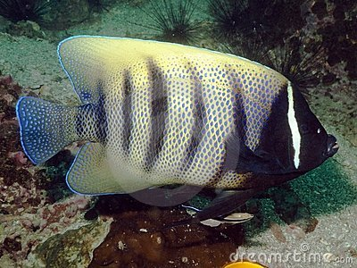 Six Banded Angelfish - Pomacanthus sexstriatus