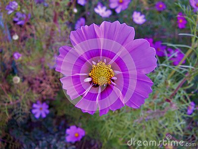 Purple Cosmo Flower with Cosmos in Background