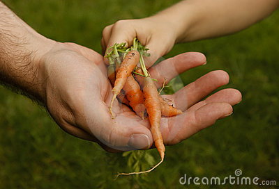 Carrots garden child grownup hands