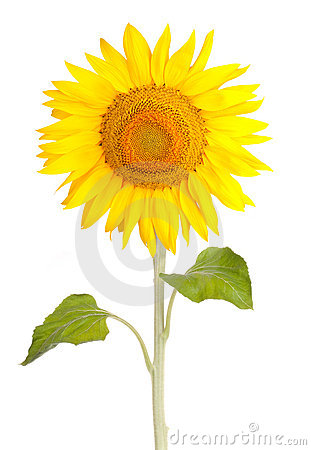 Sun flower sunflower