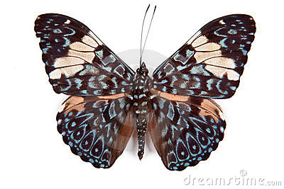 Black and blue butterfly Hamadryas amphinome