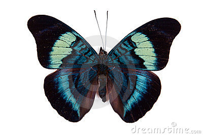 Black and blue butterfly Panacea prola