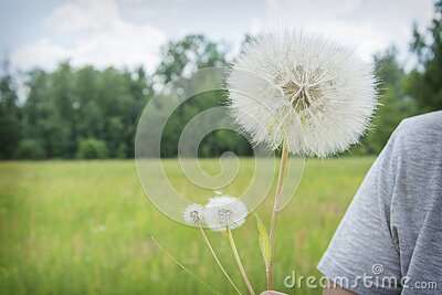 Summer outdoor portrait of a romantic girl with a big fluffy dandelion. the child holds a dry dandelion in his hands