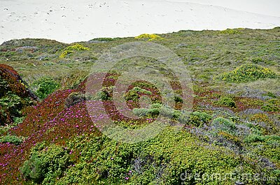 Wild Flowers on Cliff by Pacific Coast Highway, Big Sur, California, USA