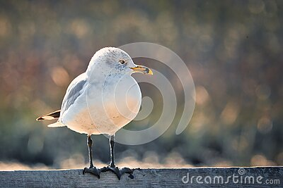 A close up of a seagull on a railing.