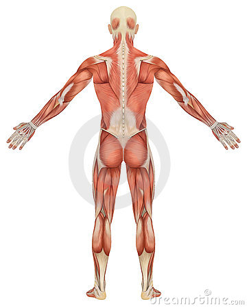 Male Muscular Anatomy Rear View
