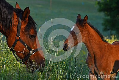 A love warm-blooded foal of trotting horse