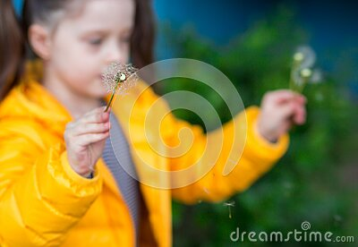Soft focus on a white fluffy dandelion. the child holds a flower in a yellow jacket