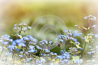 spring background, forget-me-not flowers in spring in the park, little blue flowers bloom