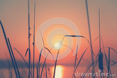 Reed plants on the shore of lake at sunset