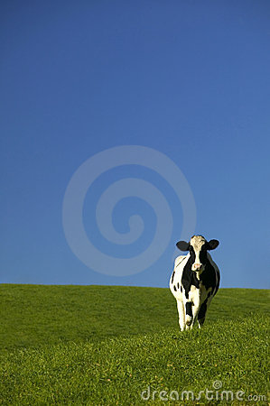 Holstein Cow in Green Field with Blue Sky