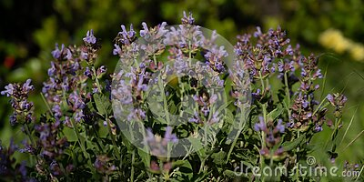 Banner size imagew of purple sage plant blooming in early spring