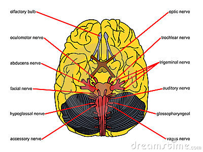 Brain parts in top view ccuart Choice Image