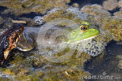 American Bullfrog grabbed on leg by Banded Watersnake struggling to get away