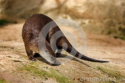 North American river otter, Lontra canadensis, sniffs about prey on sandy river bank. Brown fur coat animal.