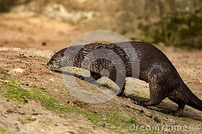 North American river otter, Lontra canadensis, sniffs about prey on sandy river bank. Brown fur coat animal. Fish predator.