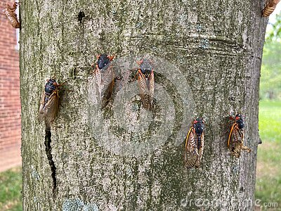 Cicadas on the Tree in spring in May