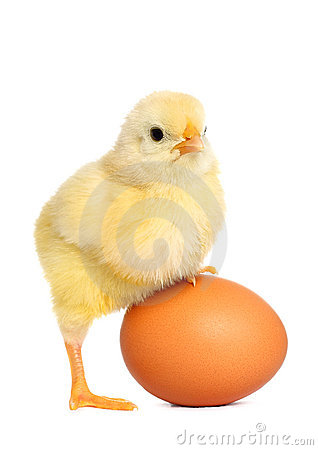 Cute yellow baby chick