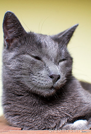 Russian Blue sleeping cat