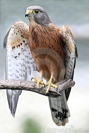 Rock Kestrel Bird