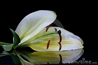 Beautiful easter lilly flower