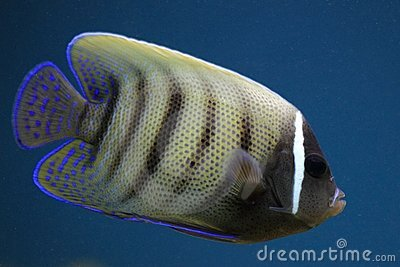 Sixbar angelfish