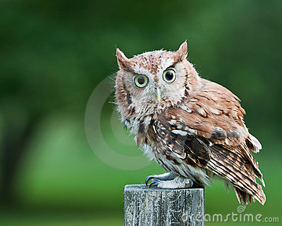Screech owl on fence post