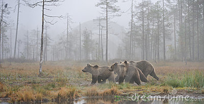 Bears in the autumn mist