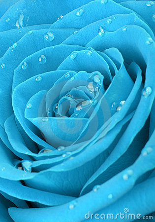 Blue rose with water drops