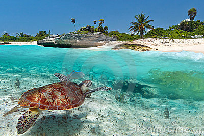 Green sea turtle near Caribbean beach