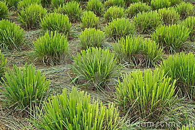 Lemongrass clump
