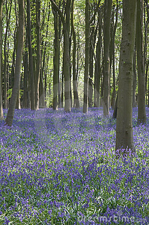 Bluebells in Itchen Woods
