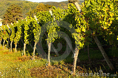 Sunshine on grapevines