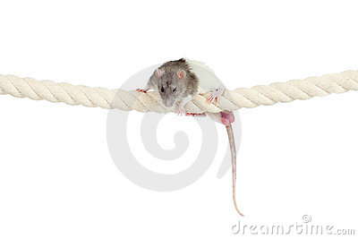 Domestic rat clambering by rope isolated on white