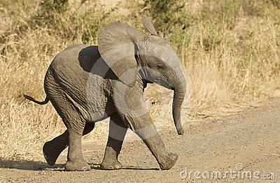 African elephant baby, South Africa