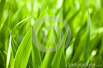 Beautiful green iris leaves