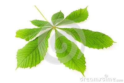 Green chestnut leaf