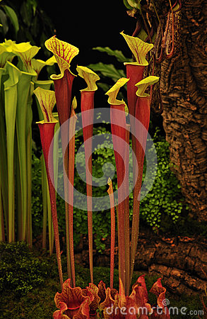 Pitcher plant (Sarracenia hybrid Johnny Marr))