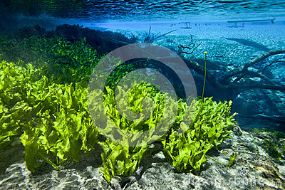 Submersed Plants Scenic - Cypress Springs